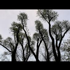 деревья Санкт-Петербурга